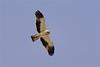 Booted eagle-2391