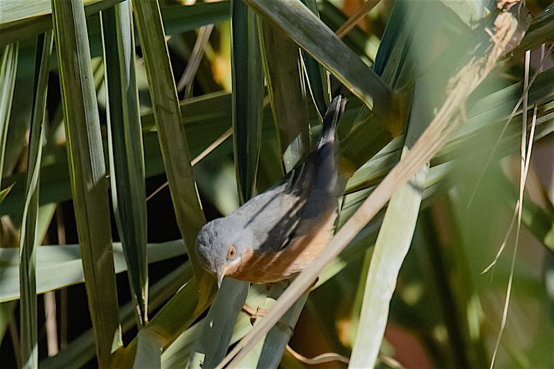 Subalpine warbler M -1338