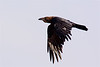 Brown-necked raven-1268
