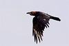Brown-necked raven-1268