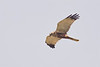 W Marsh harrier M -2402