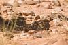 Egyptian nightjars digi-1070876