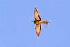 Eur  Bee-eater with bee-1039