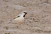 Desert sparrow M -1230