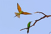 Blue-cheeked Bee-eater dance-2030