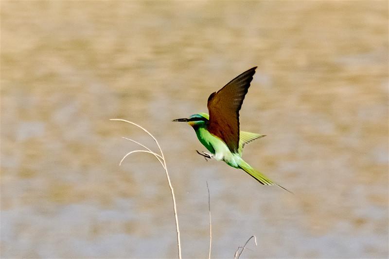 Blue-cheeked Bee-eater digi-1574