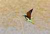 Blue-cheeked Bee-eater digi-1574