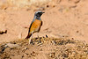 Common redstart-1629