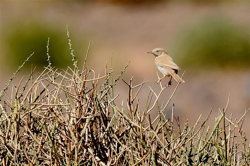 Desert warbler-1823