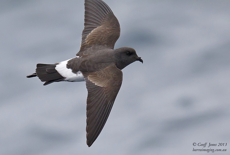 NZ00677g Black-bellied Storm Petrel ( Fregetta tropica ) South-West of South Island NZ Feb 2013