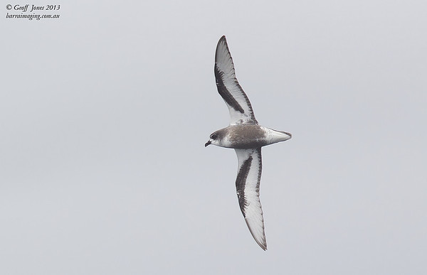 NZ00618g Mottled Petrel ( Pterodroma inexpectata ) South-West of South Island NZ Feb 2013