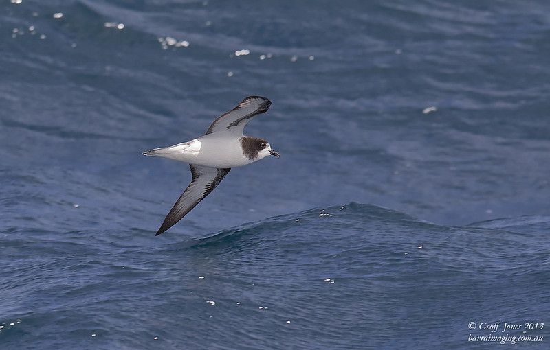 AU00623c Gould's Petrel ( Pterodroma leucoptera )  Between Tasmania & Bottom of South Island NZ Feb 2013