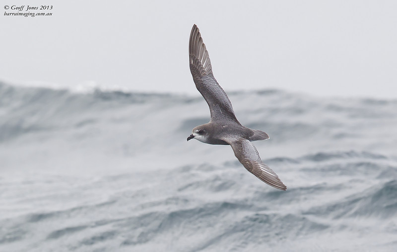 NZ00618f Mottled Petrel ( Pterodroma inexpectata ) South-West of South Island NZ Feb 2013