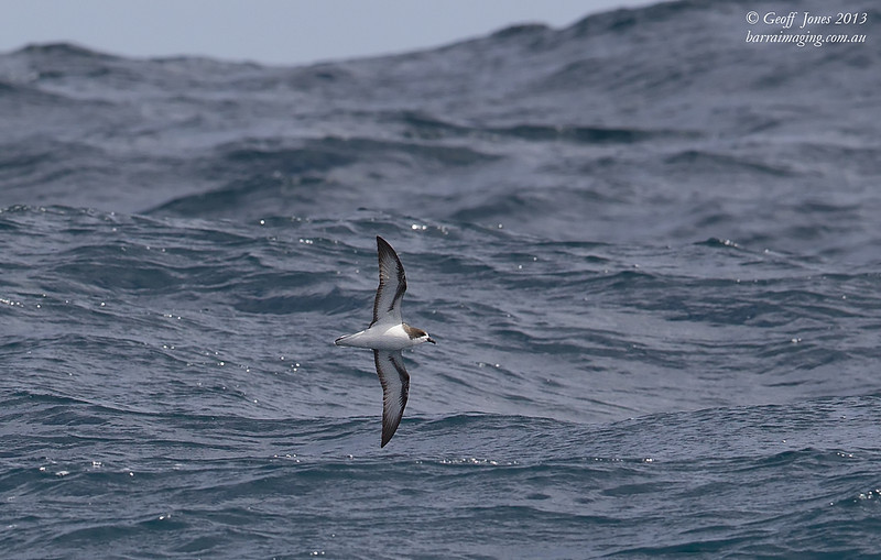AU00623d Gould's Petrel ( Pterodroma leucoptera )  Between Tasmania & Bottom of South Island NZ Feb 2013