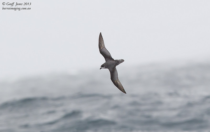 NZ00618h Mottled Petrel ( Pterodroma inexpectata ) South-West of South Island NZ Feb 2013