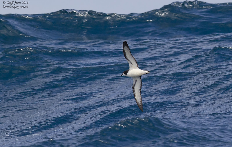 AU00623e Gould's Petrel ( Pterodroma leucoptera )  Between Tasmania & Bottom of South Island NZ Feb 2013