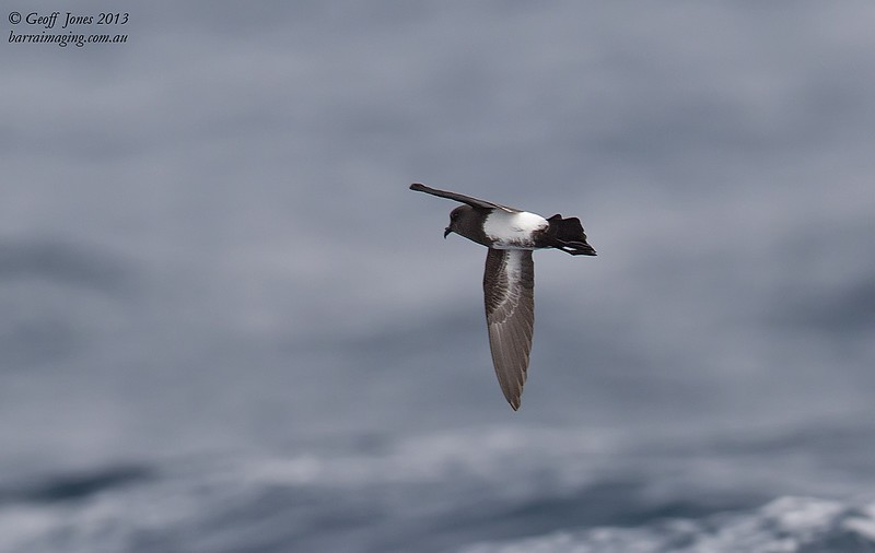 NZ00677f Black-bellied Storm Petrel ( Fregetta tropica ) South-West of South Island NZ Feb 2013