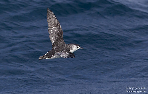AU00664a Little Shearwater ( Puffinus assimilis ) Nom race Between Tasmania & Bottom of South Island NZ Feb 2013