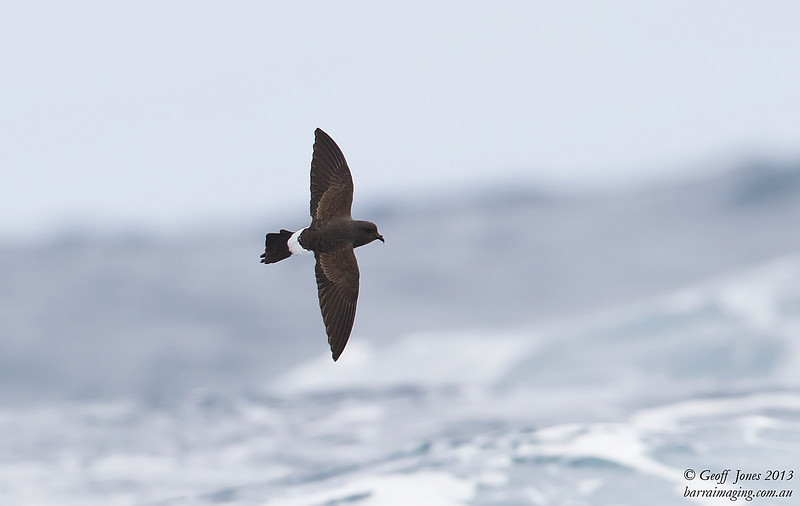 NZ00677e Black-bellied Storm Petrel ( Fregetta tropica ) South-West of South Island NZ Feb 2013