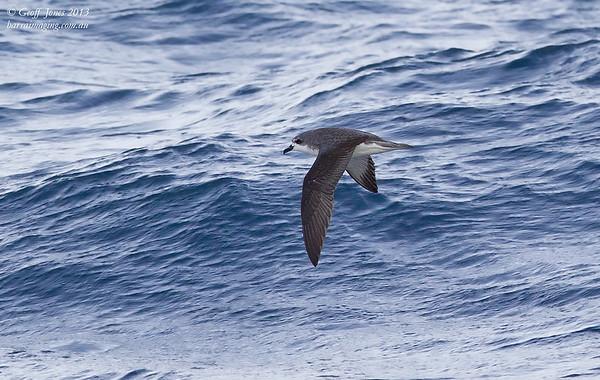 NZ00625e Cook's Petrel ( Pterodroma cookii ) Between Tasmania & Bottom of South Island NZ Feb 2013