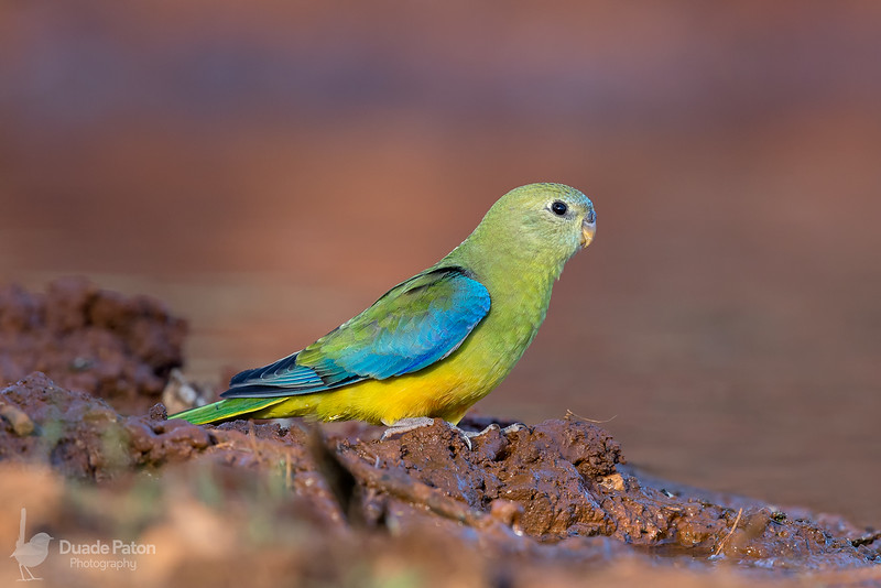 Turquoise Parrot (Female)