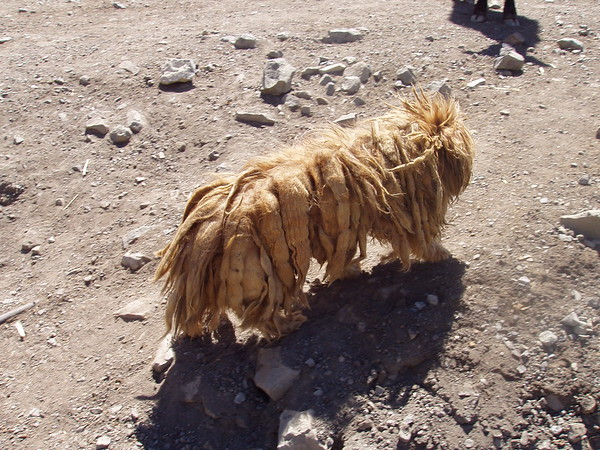 Dreadlock dog