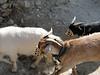 Goats with muzzles??, Namche Bazar 3450m