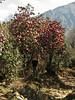 Trees of Rhododendron arboreum, Puyan 2725m-Pangkongma 2850m