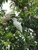 Bubulcus ibis, (NL:koereiger) Baktapur Palace Area
