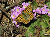 Issoria lathonia, (NL: kleine parelmoervlinder) Queen of Spain Fritillary on Primula  gracilipes, Kothe 3700m-Zatwrala 3800m