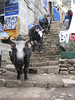 Yaks, transport of luggage to the base camps, Namche Bazar 3450m