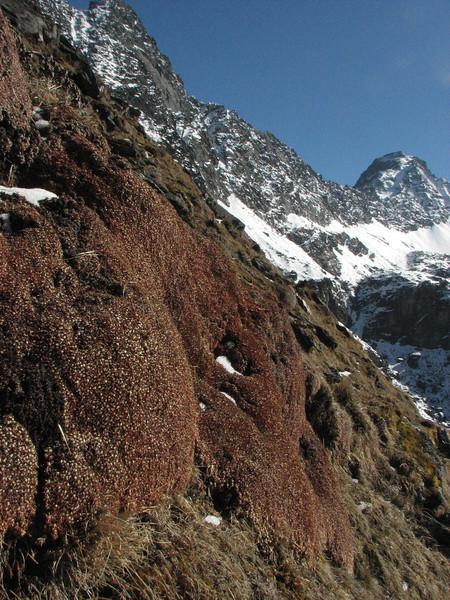 Androsace cushions, Cliola Kharka 4150m-Kothe 3700m