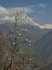 Trees of Magnolia campbellii, Puyan 2725m-Pangkongma 2850m