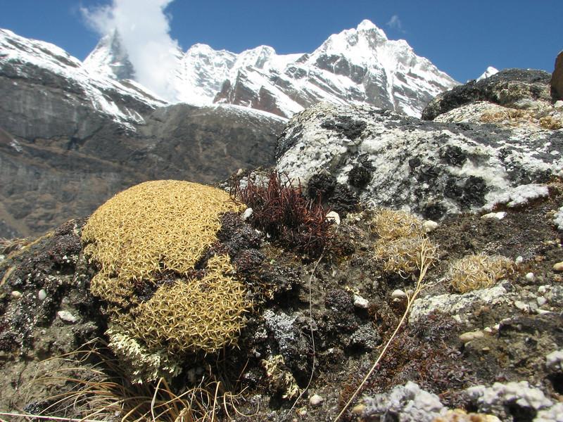 Arenaria polytrichoides, near Camp Khare 4950m