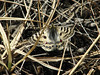 Parnassius hardwicki ssp. hardwicki, Tangnag 4300m-Khare 4950m