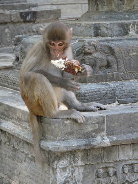Rhesus monkey like a icecream, Swayambhunath temple, Monkey Temple, Kathmandu 1300m