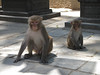 Rhesus monkey, Swayambhunath temple, Monkey Temple, Kathmandu 1300m