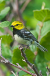 Black-throated Green Warbler -  Grand Manan Island - New Brunswick-01