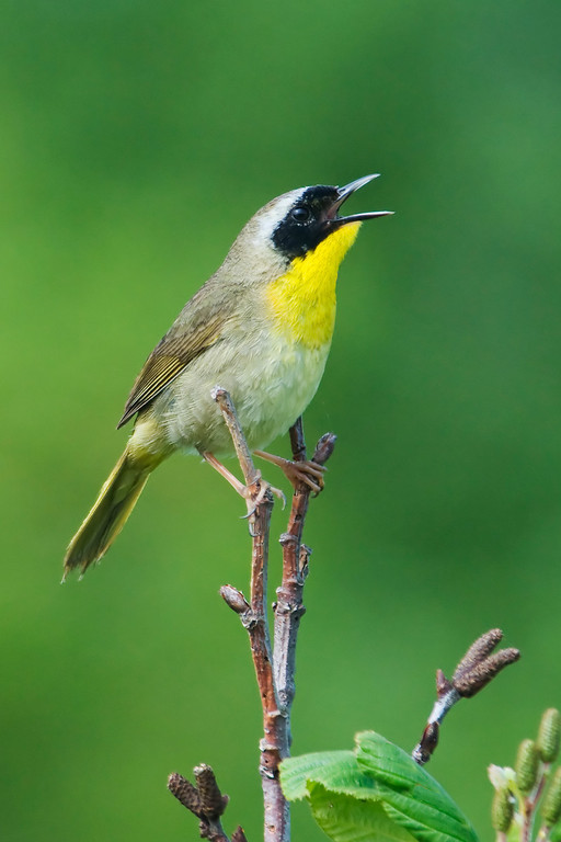 Common Yellowthroat - male - Grand Manan Island - New Brunswick-03