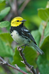 Black-throated Green Warbler -  Grand Manan Island - New Brunswick-02