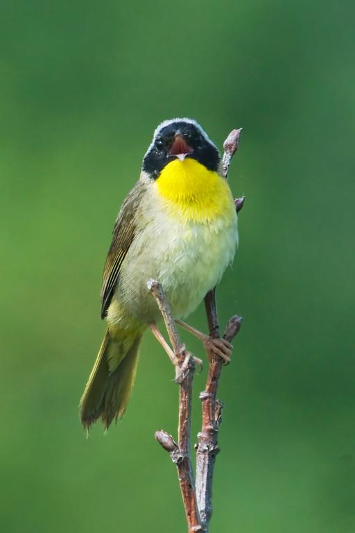 Common Yellowthroat - male - Grand Manan Island - New Brunswick-04