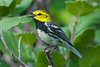 Black-throated Green Warbler -  Grand Manan Island - New Brunswick-03