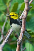 Black-throated Green Warbler -  Grand Manan Island - New Brunswick-04