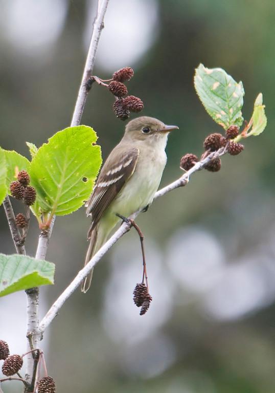 Alder Flycatcher ( in Alder Bush) - Mary's Point Bird Sanctuary - New Brunswick