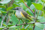 American Redstart - female - Sydney - Nova Scotia