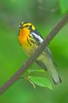 Blackburnian Warbler -  Grand Manan Island - New Brunswick-01