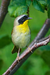Common Yellowthroat - male - Grand Manan Island - New Brunswick-02