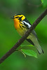 Blackburnian Warbler -  Grand Manan Island - New Brunswick-02