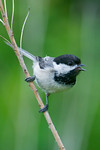 Black-capped Chickadee - Sydney - Nova Scotia