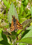 Butterfly - Arctic Skipper-03 - Grand Manan Island - New Brunswick